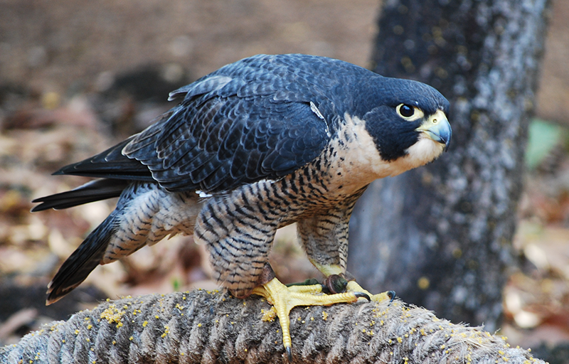 Penny the peregrine falcon