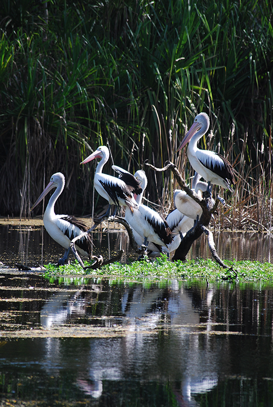 Pelicans at the billabong at the Territory Wildlife Park